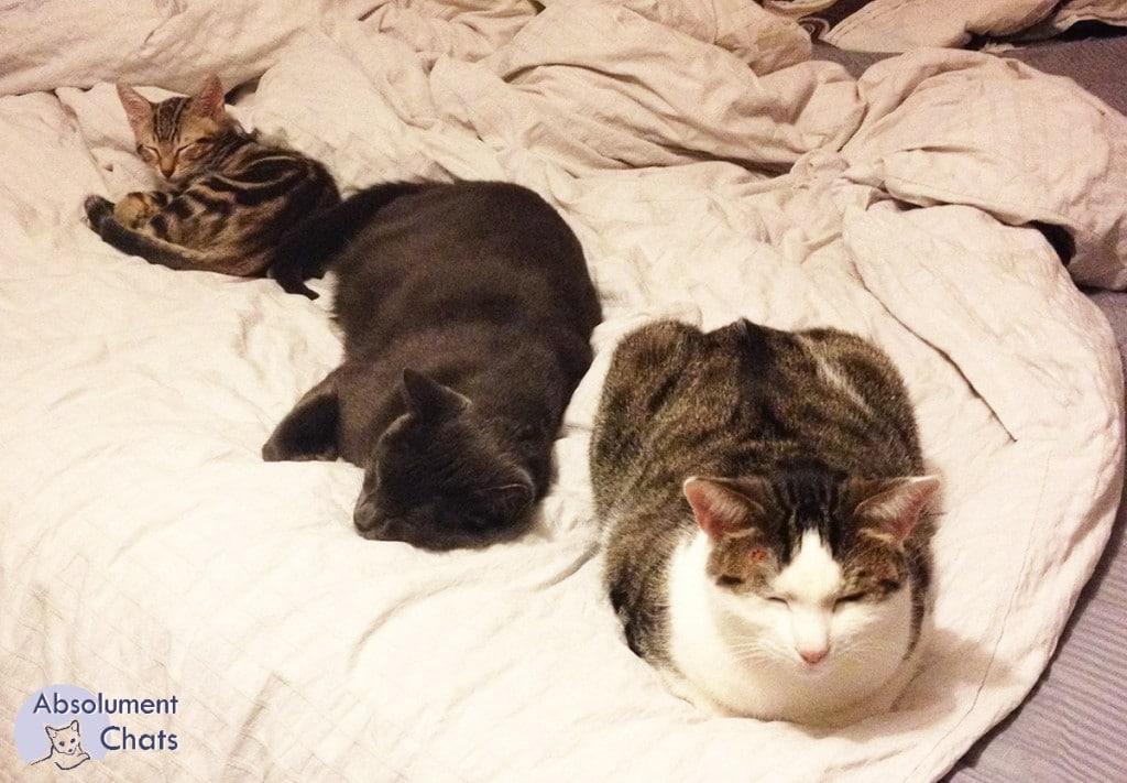 vivre avec plusieurs chats - Absolument chats