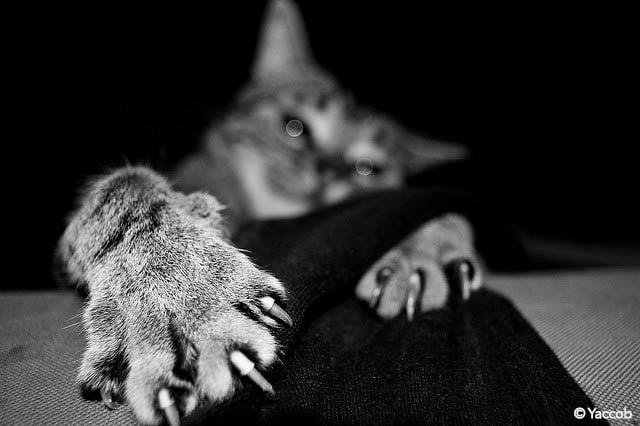 chat tenace, Yaccob