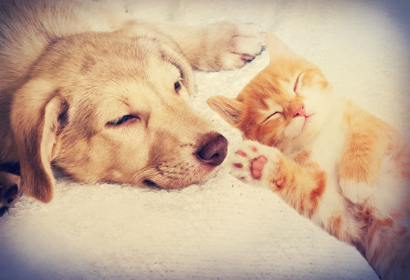 50880325 - kitten and puppy sleeping- la cohabitation netre chien et chat absolument chats