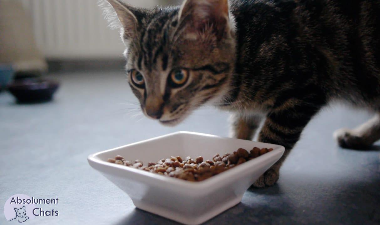 Noir poussins manger chatte