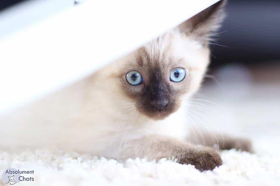 les ronrons du chat notre médecine douce-absolument chats