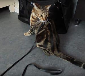 habituer un chat a la laisse harnais 2 - absolument Chats