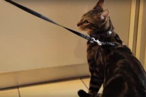 habituer un chat a la laisse harnais- absolument chats
