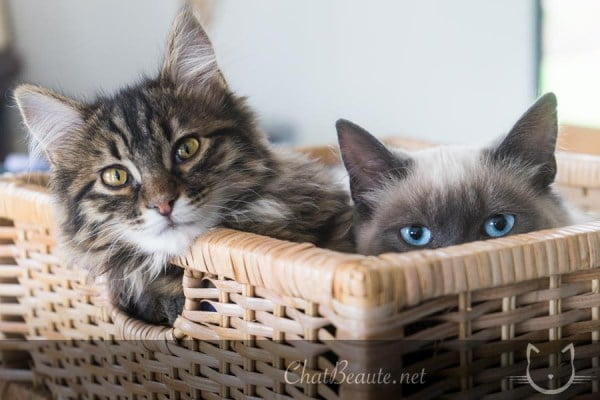jolies photos de son animal - pierre thomas - chat beaute - absolument chats