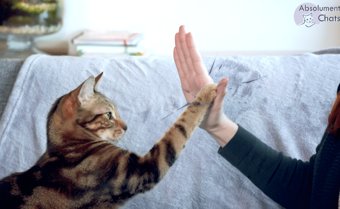 apprendre le high five a son chat en 5 minutes - absolument chats