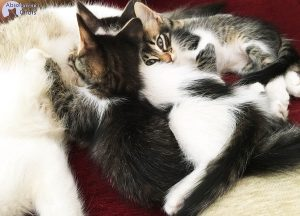 quand adopter son chaton