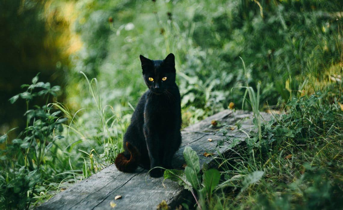 le chat noir - absolument chats