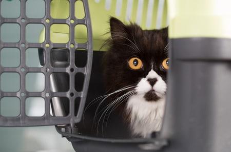emmener son chat chez le veterinaire _ absolument chats