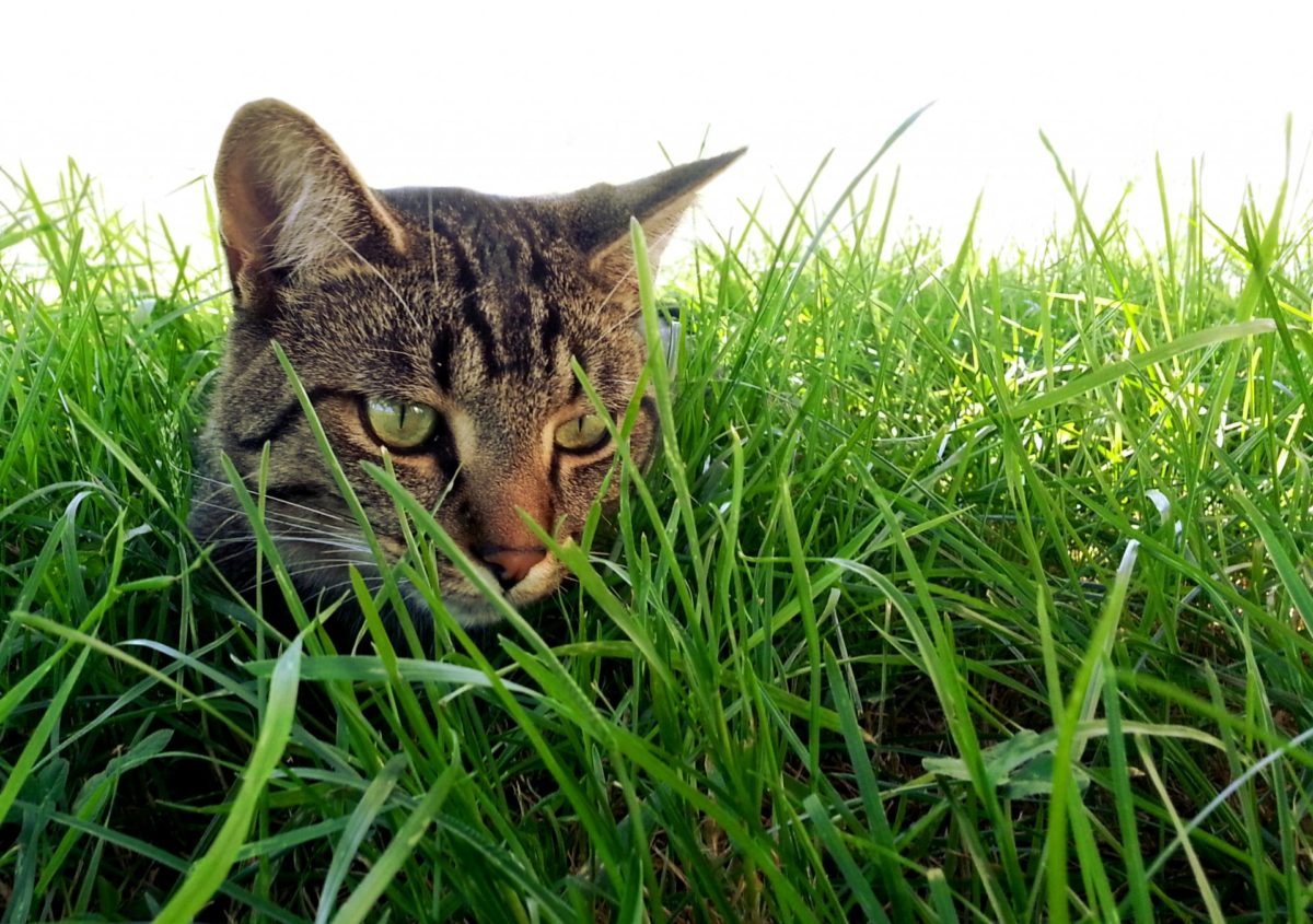 herbe a chat - absolument chats