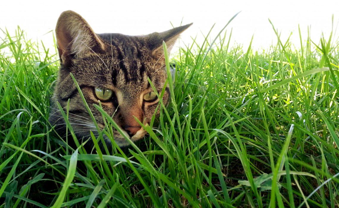 comment proteger son chat contre les tiques et les puces