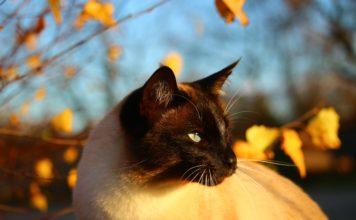 faut-il adopter un chat de race ou un chat de gouttiere