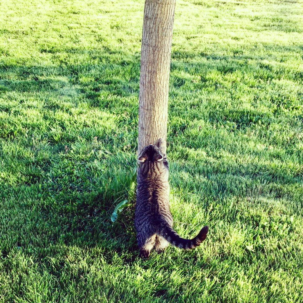 les griffades sont un mode de marquage du chat
